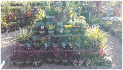 Drought Tolerant Plants at Payless Hardware & Rockery