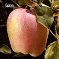 Nature of Anna Apple