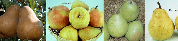 4 In 1 Pears Multi-Graft Trees at Payless Hardware & Rockery