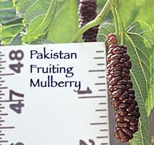pakistan_fruit_mulberry