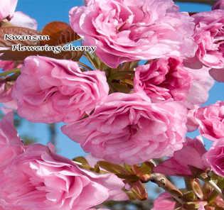 Flowering Trees San Jose Ca Payless Hardware Rockery