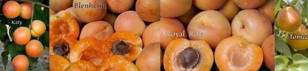 4 in 1 Apricots Multi-Graft Trees at Payless Hardware & Rockery