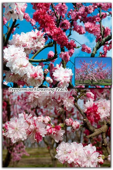 Peppermint Flowering Peach in San Jose, CA